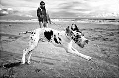 Think Big (Steve Lundqvist) Tags: monochrome perro hund people love bianco nero persone monocromo dog chien bw cane man sea seaside beach mare spiaggia animal jumping jump nikon dane danese rong picture alano