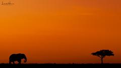 ele at sunset mm 2017 (LincolnGHarris) Tags: whyilovekenya magicalkenya nikon nikonusa nikonprofessional beautiful wild nature colour masaaimara naturelover animals animal elephants sunset mara maasai instadaily d810