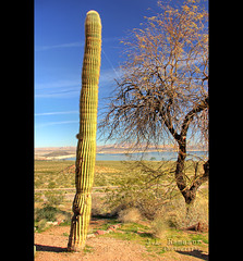 Saguaro Cactus - Boulder City, NV (J.L. Ramsaur Photography) Tags: jlrphotography nikond7200 nikon d7200 photography photo bouldercitynv clarkcounty nevada 2017 engineerswithcameras photographyforgod cactus saguaro screamofthephotographer ibeauty jlramsaurphotography photograph pic tennesseephotographer bouldercitynevada bouldercity carnegiea carnegieagigantea saguarocactus hdr worldhdr hdraddicted bracketed photomatix hdrphotomatix hdrvillage hdrworlds hdrimaging hdrrighthererightnow bluesky deepbluesky beautifulsky whiteclouds clouds sky skyabove allskyandclouds landscape southernlandscape nature outdoors god'sartwork nature'spaintbrush rural ruralamerica ruralview lakemead