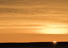 Sun up, Snowgeese out (Patty Bauchman) Tags: snowgeese snowgeesemigration freezoutlake montana wildlife wildbirds nature sunrise earlymorning