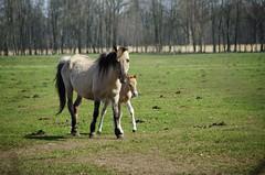 Stolze Mama mit Nachwuchs.......... (ღ eulenbilder - berti ღ) Tags: wildpferdebahn mersfeld dülmen wildpferde fohlen
