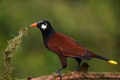 Montezuma Oropendola (anacm.silva) Tags: montezumaoropendola oropendola ave bird wild wildlife nature natureza naturaleza birds aves bocatapada costarica psarocoliusmontezuma ngc