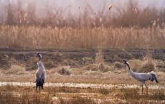 arturrydzewski rydzewski naturephotography naturephotos photos free freephotos royaltyfree flower wallpaper image picture singingcranse cranes birds śpiewająceżurawie żurawie ptaki ptak bird