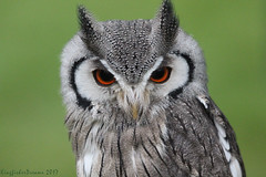 (1 of 6) (KingfisherDreams) Tags: birdofprey owl raptor bird oiseau whitefacedowl ptilopsisleucotis northernwhitefacedowl strigidae whitefacescopsowl