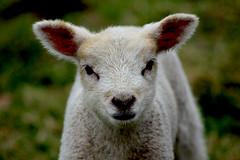 Where's Mum (Zèè) Tags: lamb agneau young sheep ovine farm animal cute