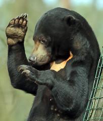 sunbear Ouwehands BB2A2270 (j.a.kok) Tags: beer bear maleisebeer mammal sunbear honingbeer honeybear malayan maleisie asia azie zoogdier ouwehands ouwehandsdierenpark