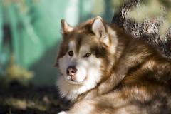 Torch enjoying a spring evening (wilderness_wanderer) Tags: malamute dog alaskanmalamute alberta spring