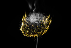 Infuriate (Lightcrafter Artistry) Tags: black yellow sad obscure symbolism disturbing dandelion flame fire macro art smoke burn dandelionseeds infuriate heated heat anger nature