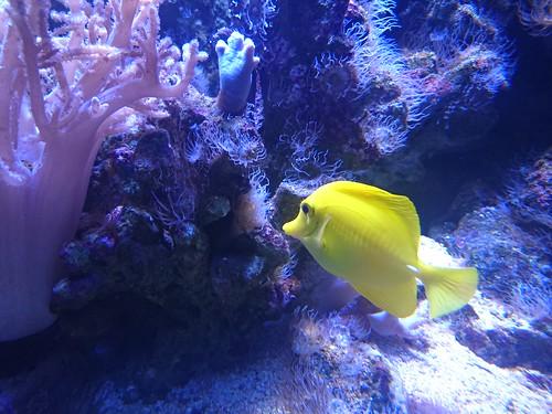 A yellow fish