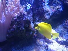A yellow fish (skumroffe) Tags: yellow blue gul blå fisk akvariefisk akvarium aquarium fjärilshuset fjärilshusethaga haga solna stockholm sweden