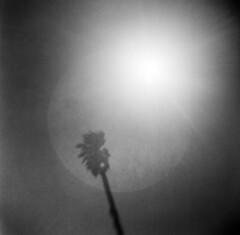 Presidio #9 (LowerDarnley) Tags: browniehawkeyeflash kodak verichrome flippedlens expiredfilm sanfrancisco ca presidio sun flare palmtree 620film