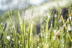 Balls of bokeh.... (Joe Hengel) Tags: ballsofbokeh bokeh green grass grasses greengrass socal southerncalifornia sanjuancapistrano hillside hill water waterdrops dew morningdew goldenstate theoc orangecounty oc outdoor depthoffield morning morninglight 7dwf
