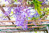 DSC_1571 (sayo-tsu) Tags: 藤 wisteria 牛島のフジ 春日部市 埼玉県 kasukabe saitama 特別天然記念物