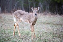 Fawn (jenna.lindquist) Tags: greengrass grass deer doe fawn doefawn buckfawn backyard nature closeup canon northwoods wisconsin