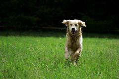 _DSC0104 MOD (BbyConti) Tags: chien dog champ noir black green vert vitesse 105mm sigma nikon d5300 bokeh animal animaux