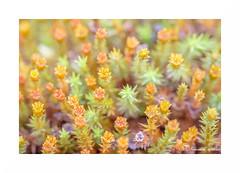 Acidulé III (francine koeller) Tags: sphaigne mousse moss sphagnummoss acid acidulé couleur color pastel tourbière peatland