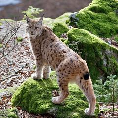 Lynx lynx - Euraziatische lynx (wimberlijn) Tags: lynxlynx euraziatischelynx lynx beiersewoud bayerischerwald luchs nationalparkzentrumlusen bavarianforest nature wildlife animal outdoor