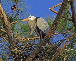 Great blue heron near Fort Walton Beach, Florida