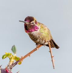No Problem. (Omygodtom) Tags: outdoors bird anashummingbird hoilday ice bloom happy cielo wildlife wild reflection nikkor digital star golden nature natural nikon d7100 bokeh nikon70300mmvrlens