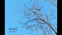 Nötväcka (evisdotter) Tags: nötväcka eurasiannuthatch sittaeuropaea spring nature bird fågel video 18sec