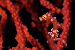 Denise Pygmy Seahorse (Hippocampus denise) (Randi Ang) Tags: denise pygmy seahorse hippocampusdenise hippocampus lembeh strait north sulawesi utara indonesia underwater scuba diving dive photography macro randi ang canon eos 6d 100mm randiang