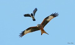 Nibbio Reale - Red Kite ( Milvus Milvus ) (Michele Fadda) Tags: canoneos70d sigma150600mmf563dgoshsm|contemporary015 sigma150600c sardinia sardegna italy redkite milvusmilvus nibbioreale nature natura avifauna volatile volo flight uccello bird faunaprotetta rapace raptor falco photoscape