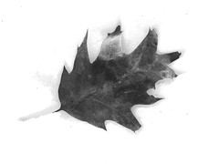 Oak leaf in snow (Dendroica cerulea) Tags: northernredoak redoak quercusrubra quercus fagaceae fagales oak leaf snow blackandwhite bw monochrome winter ayresbeach redsmarina highlandpark middlesexcounty nj newjersey