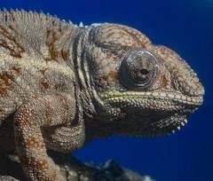Confused Chameleon (ORIONSM) Tags: chameleon reptile animal nature eye macro closeup portrait terranatura olympus omdem10markii