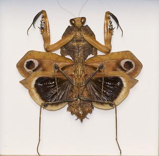 Dead Leaf Mantis (Deroplatys Desiccata)