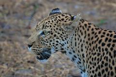 Portrait of a leopard (rachelsloman) Tags: leopard wild animal botswana kwai