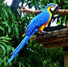 Guacamaya (MariaTere-7) Tags: animal ave guacamaya azul parque del este caracas venezuela maríatere7