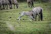 Konik horse foal (madphotographers) Tags: konik konikpaarden oostvaardersplassen nature wild wilderness horses horse foal