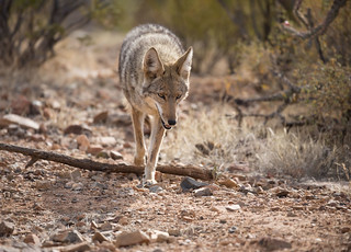 desert-coyote