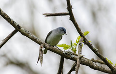 Blue-Gray Gnatcatcher (Tommy Quarles) Tags: blue gray gnatcatcher bird frankfort kentucky canon 7d mark ii