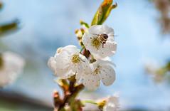 _DSC7502 (KateSi) Tags: cherryblossoms blossoms flowers fleurs blomster cherrytree spring vår primavera printemps white blanche blanco hvitt bees honeybee honeybees abeja abeille bie abejas biers abeilles nikon nikond90 depthoffield nature naturaleza natur