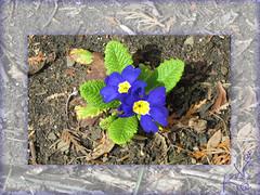 my garden so far... (Koko Nut, it's all about the frame) Tags: primrose primula flower framedflower firstflower blue green spring bloom early garden koko kokonut wonder