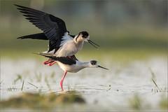 DSC_5981a (Viktor Honti) Tags: nikon d7100 tamron 150600 hungary himantopus mating wildlife nature bird water
