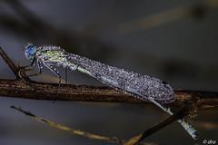 IMG_9319 Libelle (Doris Ro) Tags: libelle morgentau