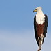 African fish eagle, Haliaeetus vocifer, at Chobe National Park, Botswana