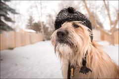 Matlin ~ 11/52/2017 ~ not a fan of hats (illona) Tags: scruffydogphotography scruffydog winter hat dog dogphotography petphotography 52weeksfordogs