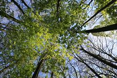 Spring 2017-04-30 [12/26] (Pascal Volk) Tags: berlin berlinlichtenberg lichtenberg landschaftsparkherzberge natur nature naturaleza pflanze plant planta wald bäume trees wideangle weitwinkel granangular superwideangle superweitwinkel ultrawideangle ultraweitwinkel ww wa sww swa uww uwa spring frühling primavera canoneos6d canonef1635mmf4lisusm 16mm manfrotto mt055xpro3 468mgrc2 forest