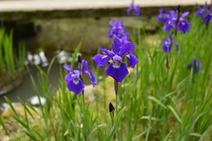 iris (kenichirou.furukawa) Tags: ifttt 500px flowers spring water garden purple