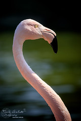 Flamingo (Frank Heldt Photography) Tags: dortmund nordrheinwestfalen deutschland de flamingo animal bird vogel westfalenpark canon 5dmarkiv nice foto fotograf photo photograph wildlife