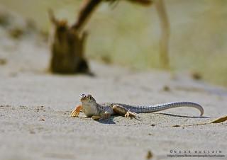 The Lecertid lizard.