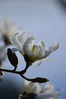 Spring beauty.  Tulip bush.