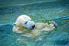 Polar bear in the water eating green branch with leaves (♥Oxygen♥) Tags: animal bear mammal nature polar pool water wildlife zoo outdoors paws arctic beast carnivore carnivorous carrots cute danger dangerous dinner eats endangered fauna food fur habitat head helpless hunter meal north paw playing pleasure predator rat swims tasty trapped useful wet white wild branch eat swim