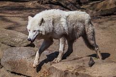 Biały Wilk (Plastic Lihgt) Tags: wilk wolf