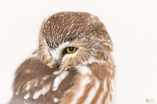 ''Coquetterie!'' Petite nyctale-Saw-whet owl-aegolius acadius