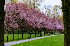 _MG_1620 (movaxdx) Tags: katowice parkkościuszki poland blossom plumtree