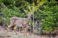 Hello Deer (jenna.lindquist) Tags: greengrass deer doe nature naturephotography wisconsin northwoods doeadeer photography canon5dmarkiii canon70200f28lll canon